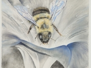 Where-have-all-the-bumble-bees-gone_--Eastern-Bumble-Bee,-Cyndi-Strid,-Artist